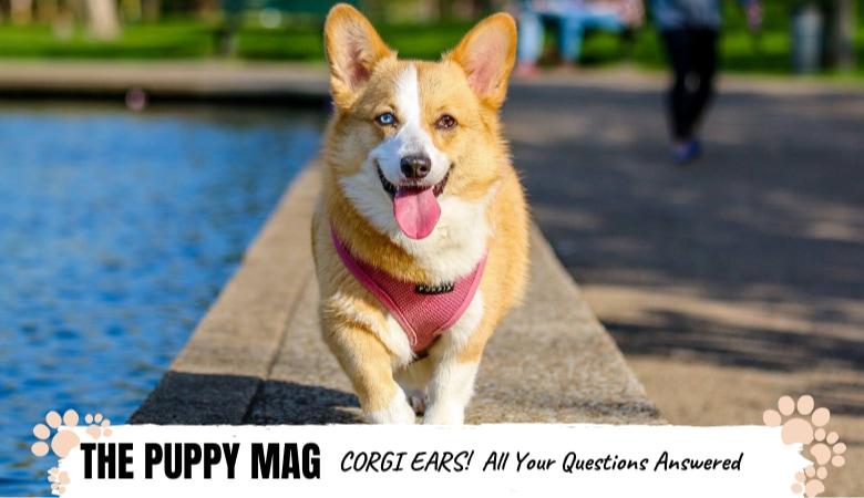 corgi-ears