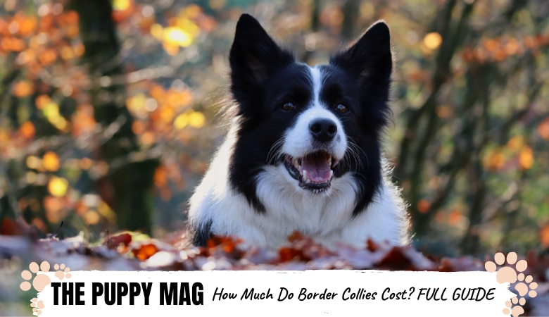 how-much-do-border-collies-cost