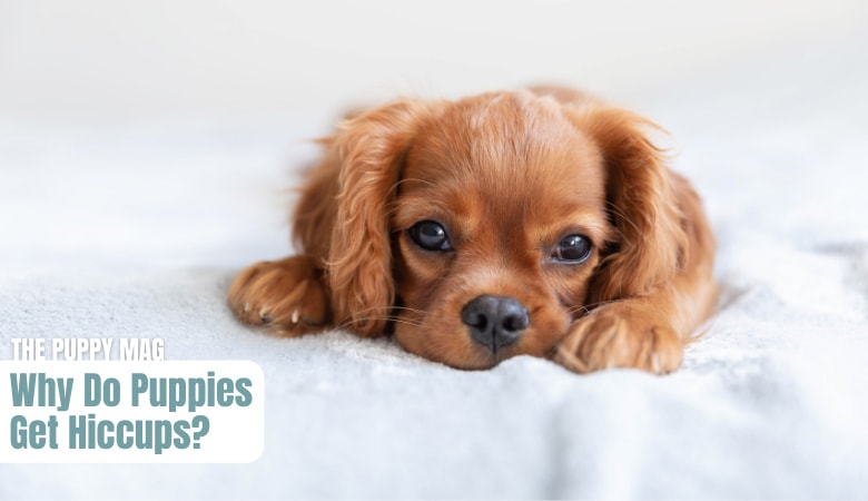 why-do-puppies-get-hiccups