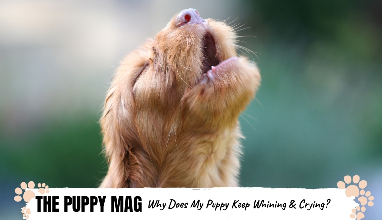 why-does-my-puppy-keep-whining