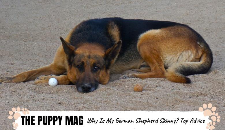 why-is-my-german-shepherd-skinny