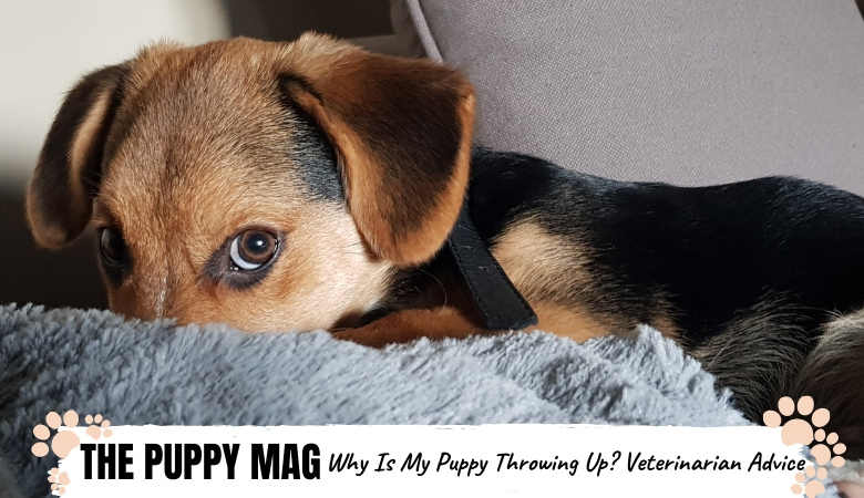 why-is-my-puppy-throwing-up-veterinarian-advice