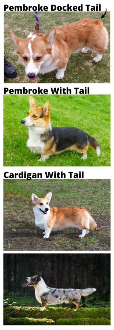 corgi tail photo examples