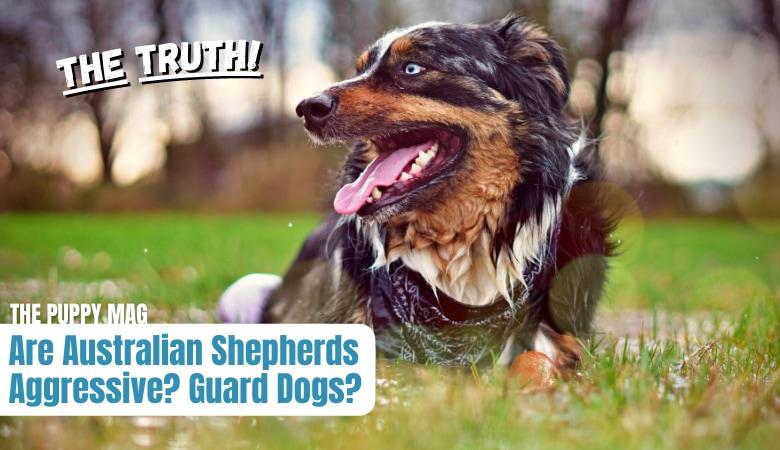 are-australian-shepherds-aggressive