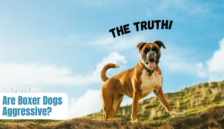 are-boxer-dogs-aggressive
