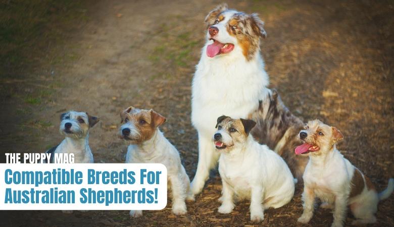 compatible-breeds-for-australian-shepherds