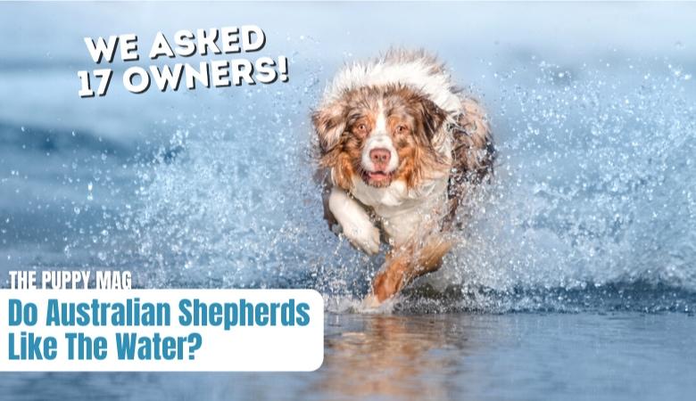 do-australian-shepherds-like-the-water