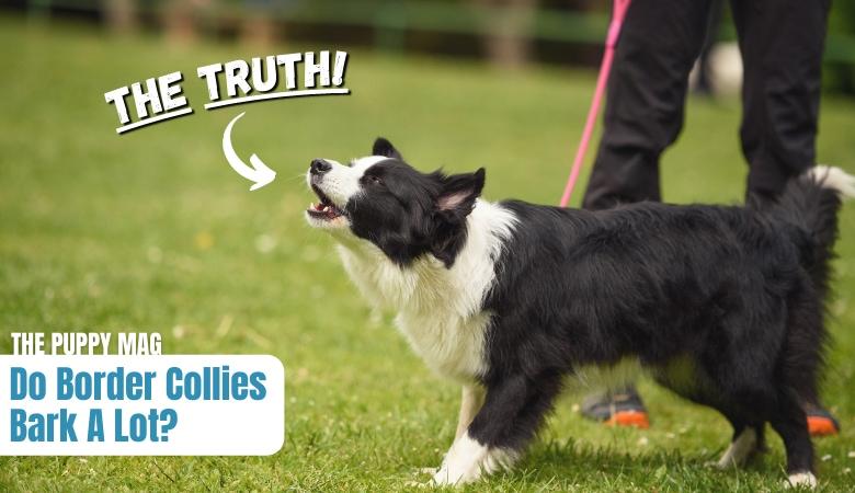 do-border-collies-bark-a-lot