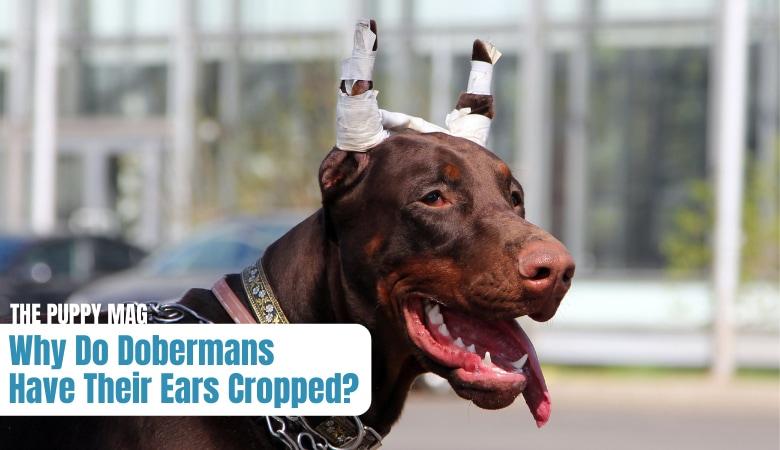 doberman-ear-cropping