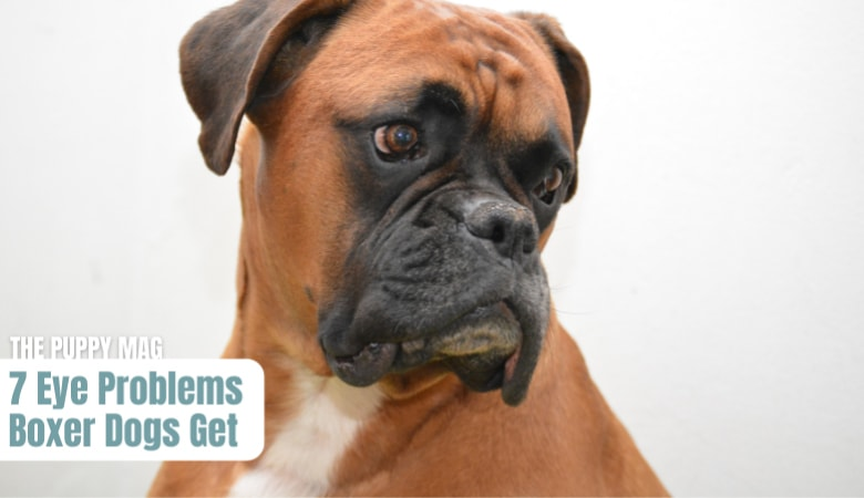 eye-problems-boxer-dogs-get