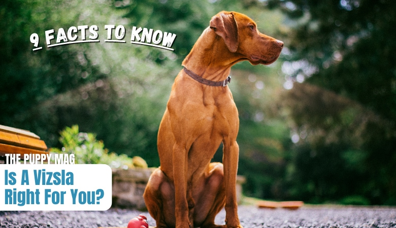 things-to-know-before-getting-a-vizsla