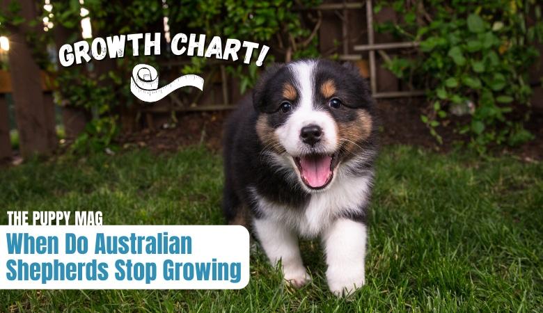 when-do-australian-shepherds-stop-growing