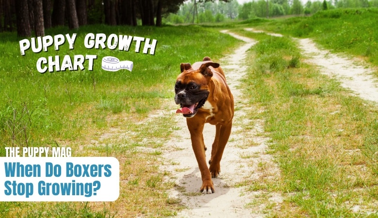 when-do-boxers-stop-growing-and-reach-full-size