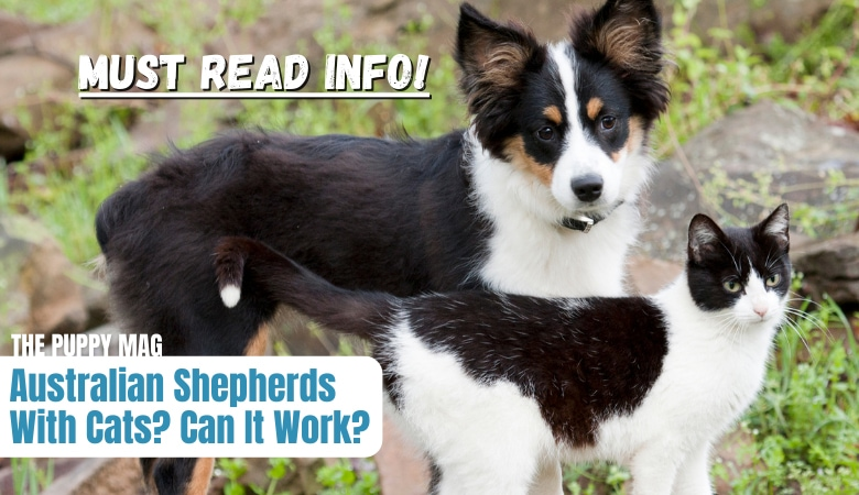 are-australian-shepherds-good-with-cats