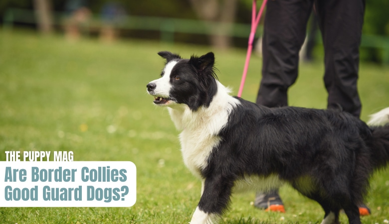 are-border-collies-good-guard-dogs