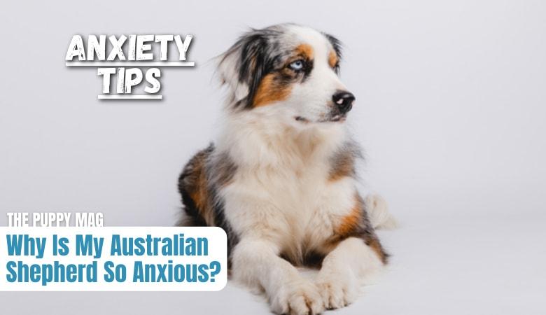 australian-shepherd-anxiety