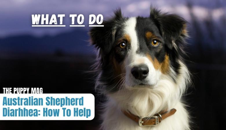 australian-shepherd-diarrhea