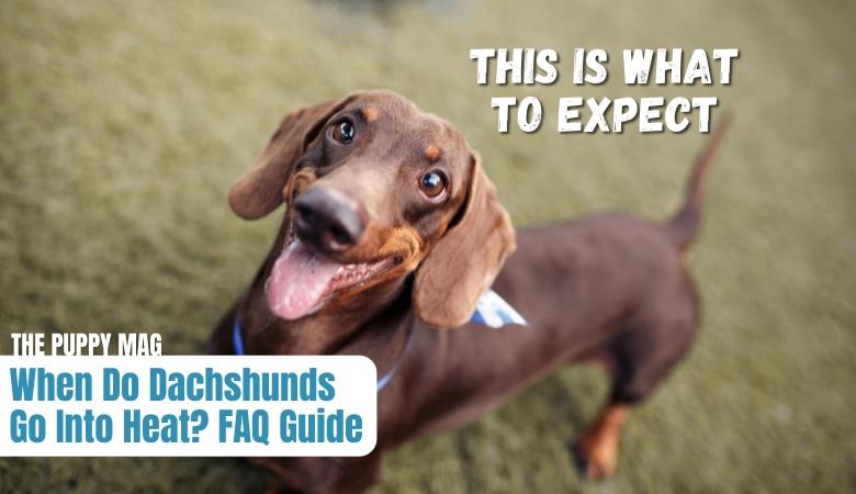 when-do-dachshunds-go-into-heat