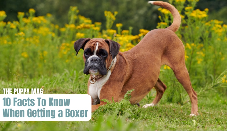 10-things-to-know-before-getting-a-boxer