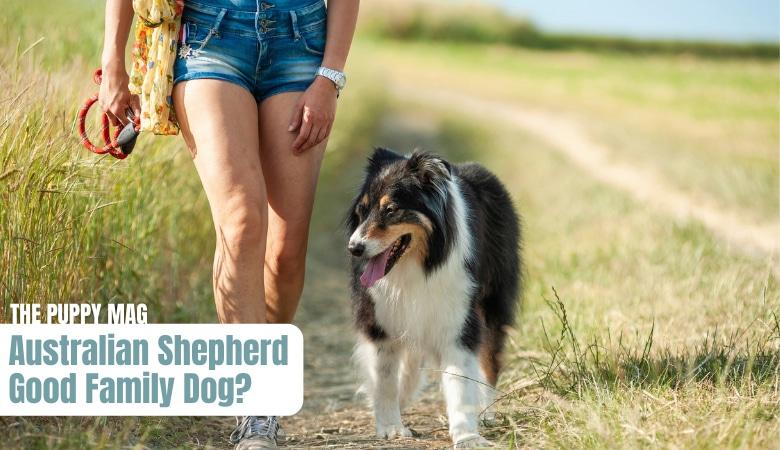 are-australian-shepherds-good-family-dogs