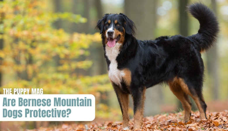 are-bernese-mountain-dogs-protective
