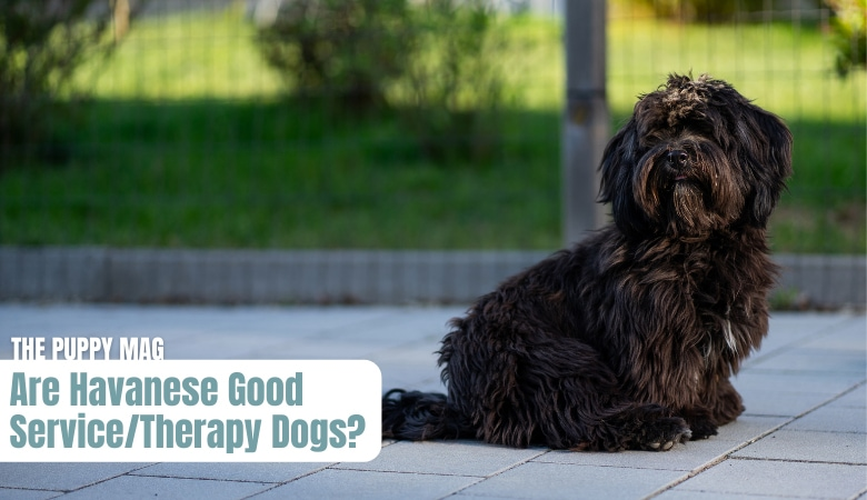 are havanese good service dogs