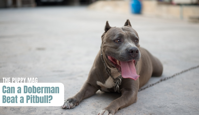 can-a-doberman-beat-a-pitbull