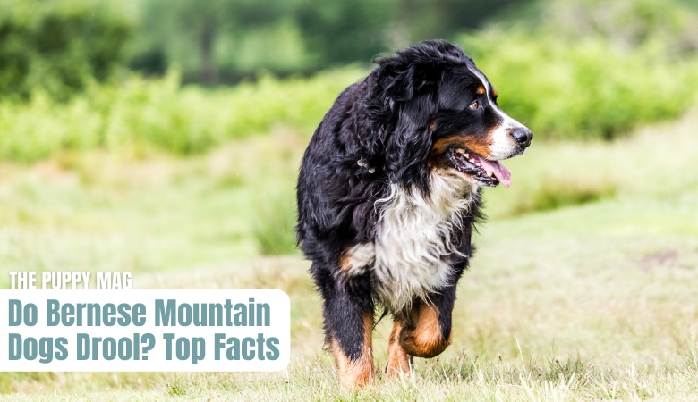 do-bernese-mountain-dogs-drool