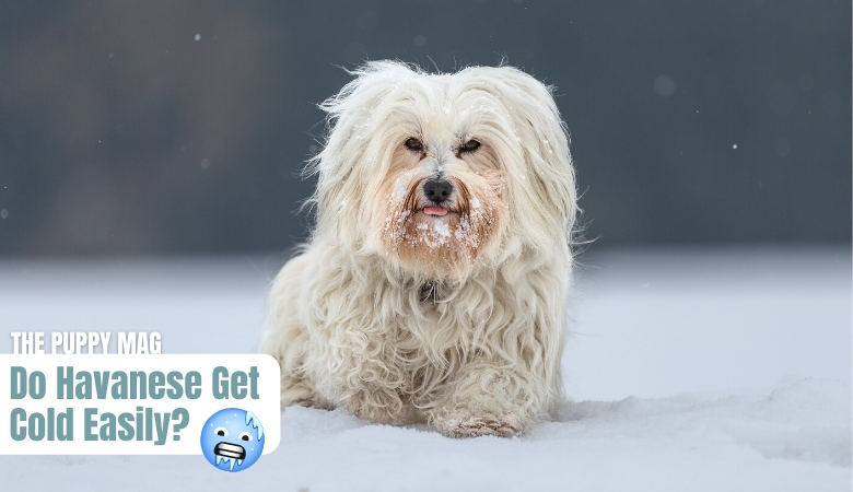 do-havanese-get-cold-easily