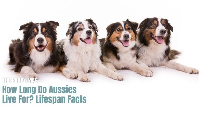 how-long-do-australian-shepherds-live-for