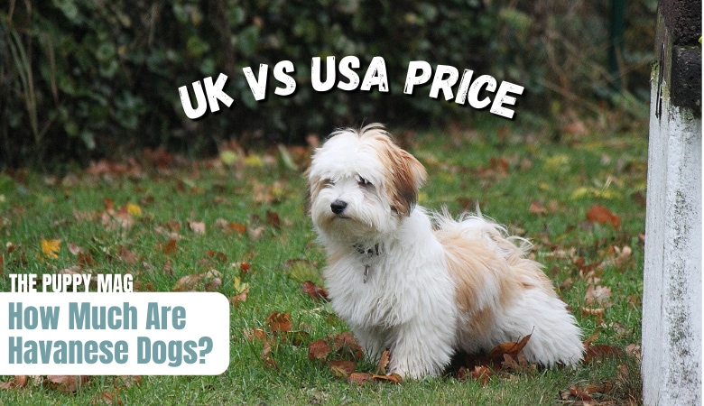 how-much-are-havanese-dogs-UK-USA