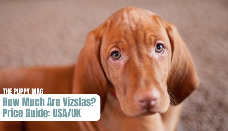 vizsla puppy price USA UK
