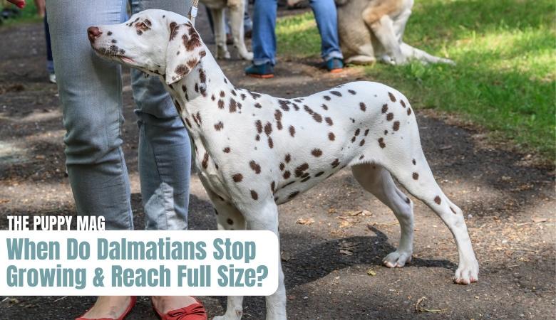 when-do-dalmatians-stop-growing